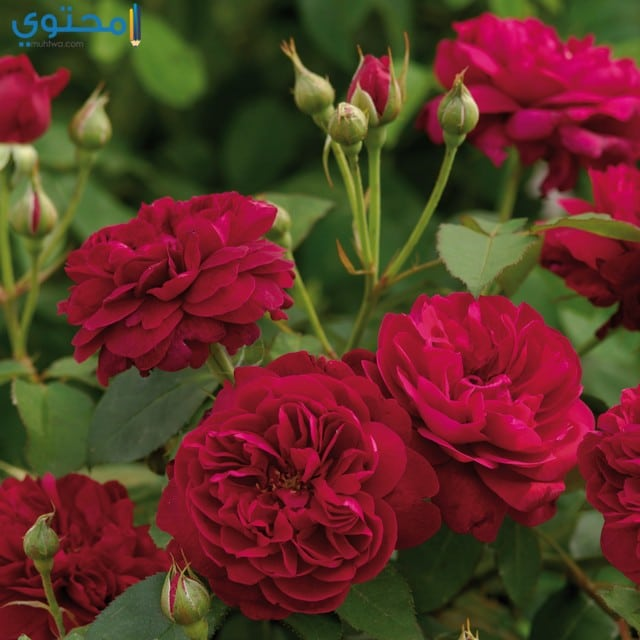 بالصور صور ورد صور ورد , احلي صور الورد الجميل 6667 8