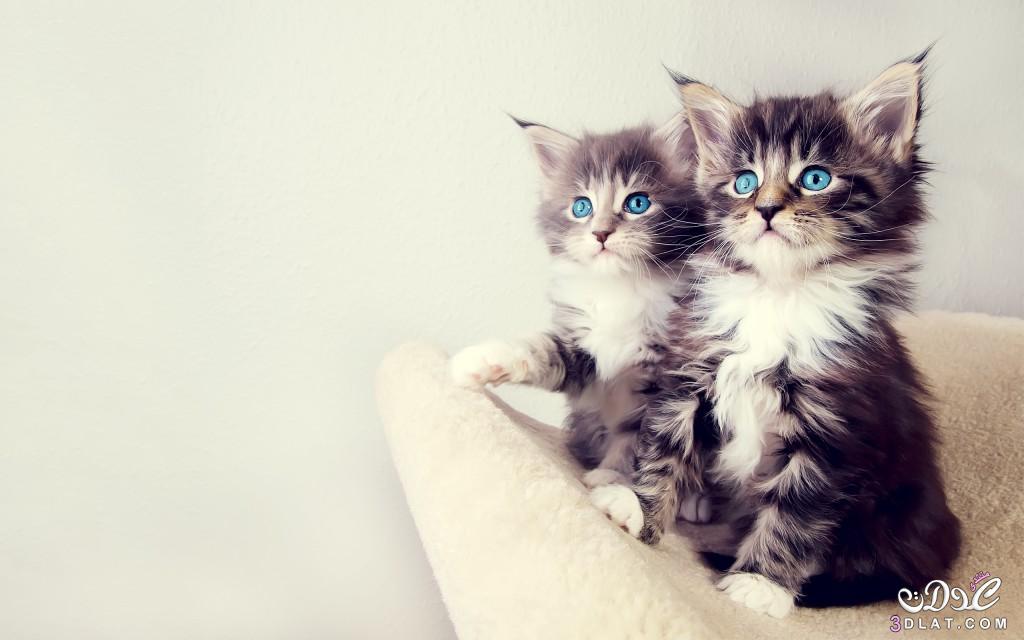 صوره خلفيات قطط , صور خلفيات للقطط