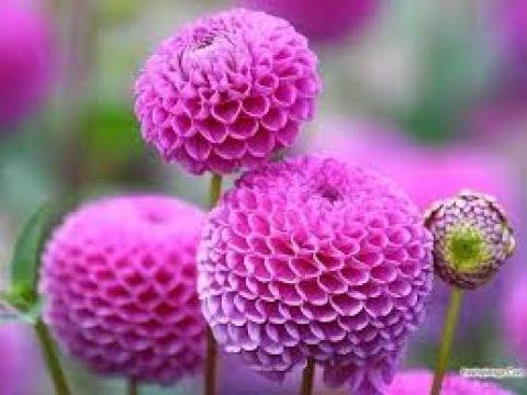 بالصور احلى صور ورد , صور اجمل الورود 3232 2
