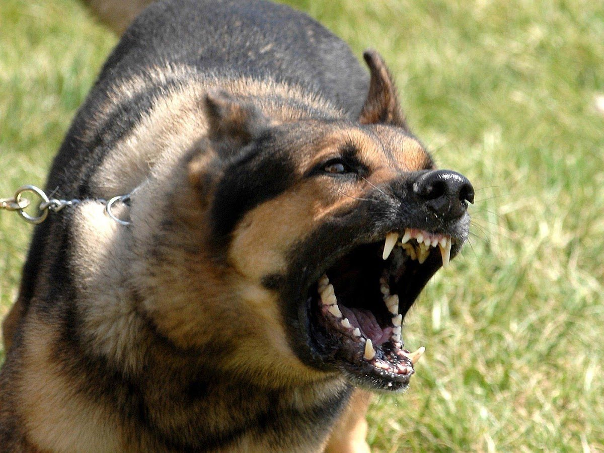 بالصور اشرس انواع الكلاب , بالصور اقوى انواع الكلاب الشرسة 3293 4