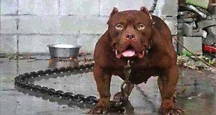 بالصور اخطر انواع الكلاب , صور اخطر انواع الكلاب 3342 10 310x165