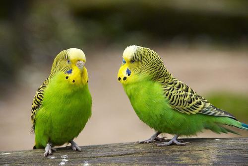 صور عصافير الزينة , اجمل الصورلطيور الزينة