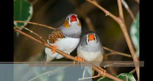 عصافير الزينة , اجمل الصورلطيور الزينة