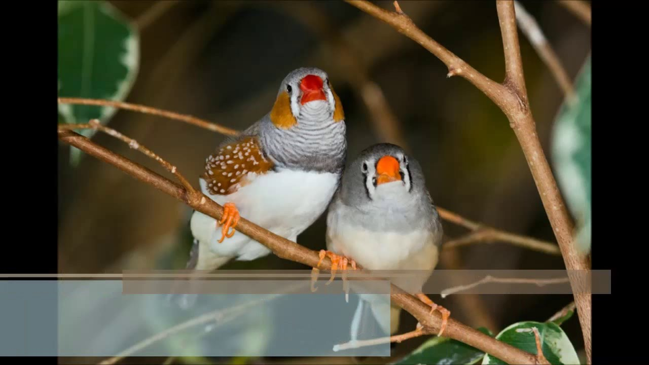 صوره عصافير الزينة , اجمل الصورلطيور الزينة