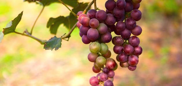 بالصور فوائد العنب الاحمر , ماهى الفوائد للعنب الاحمر 3374