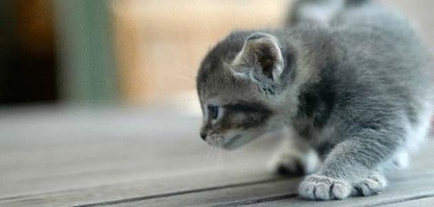 صور كيفية تربية القطط , الطريقة الصحيحه لتربيه القطط