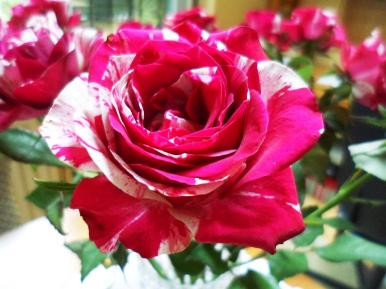 صور ورد جميل اجمل الصور الورود حبيبي