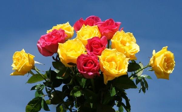 صورة اجمل الورود في العالم , اجمل وردة فى العالم