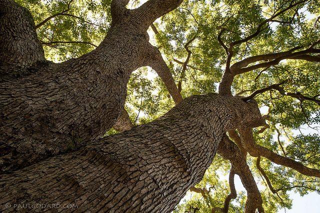 صور ما هو الكافور , فوائد شجرة الكافور