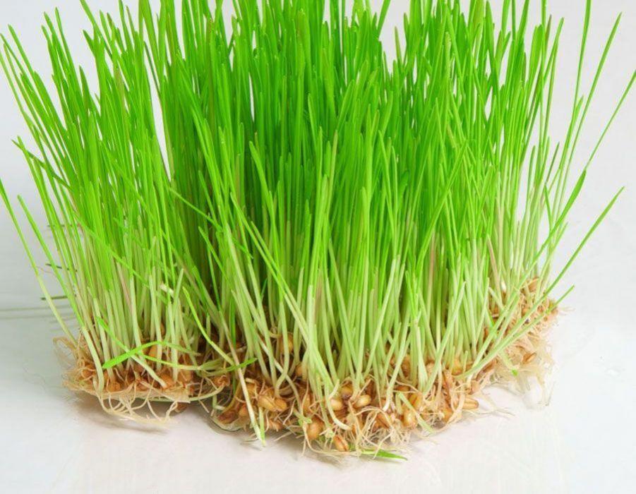 صورة عشبة القمح , ماهي فوائد عشبه القمح