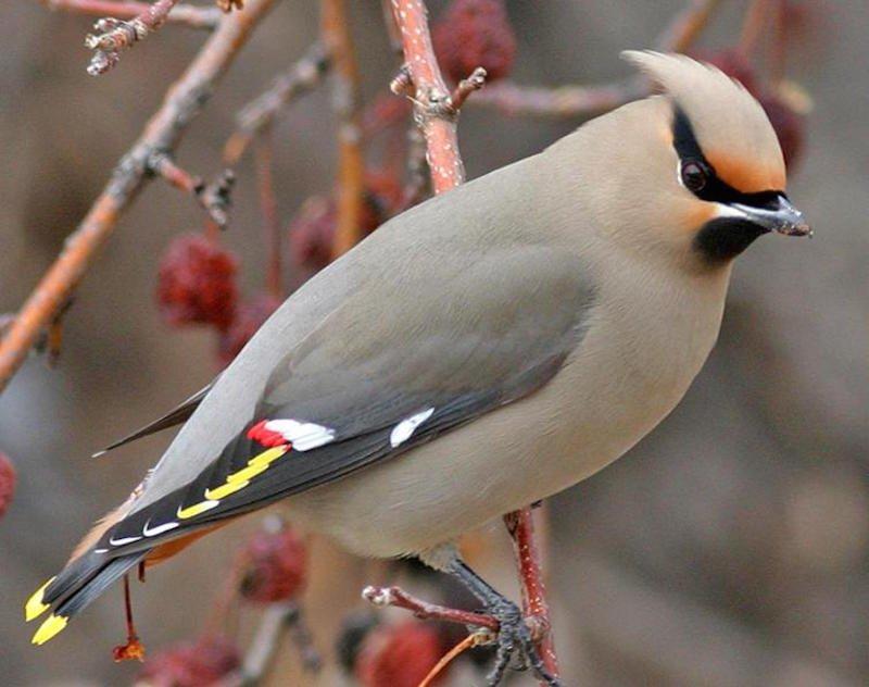 بالصور اجمل طيور العالم , اروع الطيور الزينه فى العالم 1075 3