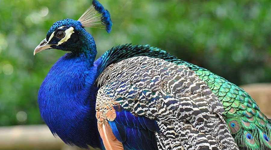 بالصور اجمل طيور العالم , اروع الطيور الزينه فى العالم 1075 4