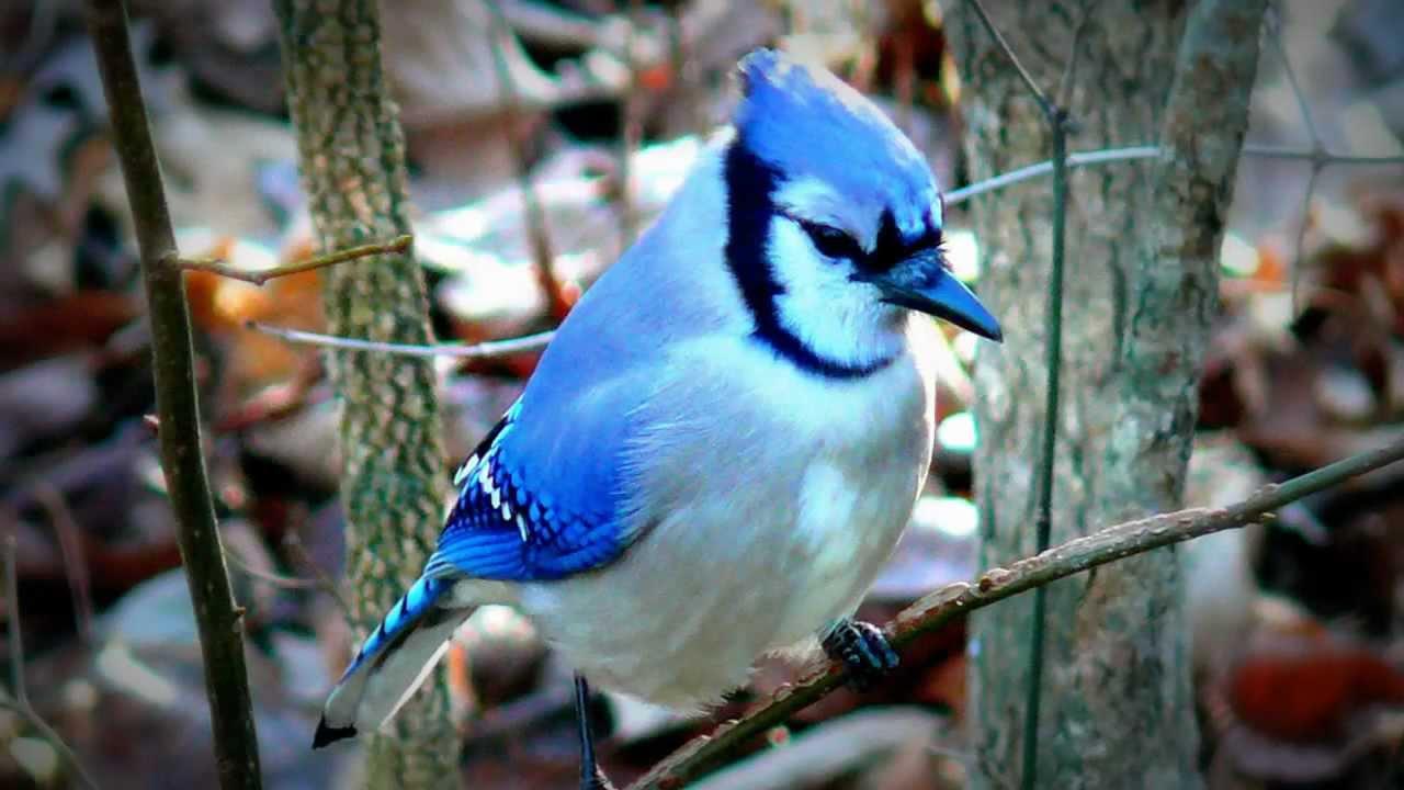 بالصور اجمل طيور العالم , اروع الطيور الزينه فى العالم 1075 5