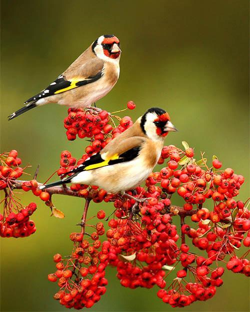 بالصور اجمل طيور العالم , اروع الطيور الزينه فى العالم 1075 7