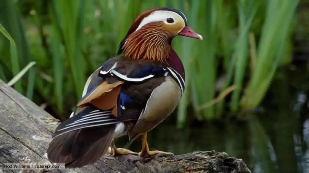 بالصور اجمل طيور العالم , اروع الطيور الزينه فى العالم 1075