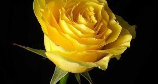 صوره اجمل صور ورد , الورد وجمالة والوانة