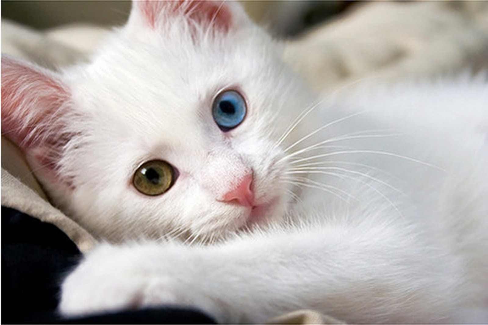 صور صور قطط كيوت , صورة اجمل قطة شيرازى كيوت