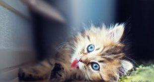 صور قطط كيوت , صورة اجمل قطة شيرازى كيوت