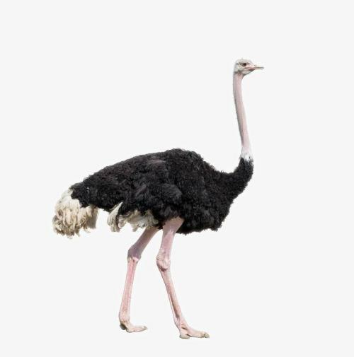 بالصور اكبر طائر في العالم , صور ومعلومات عن اكبر طائر في العالم 2331 11