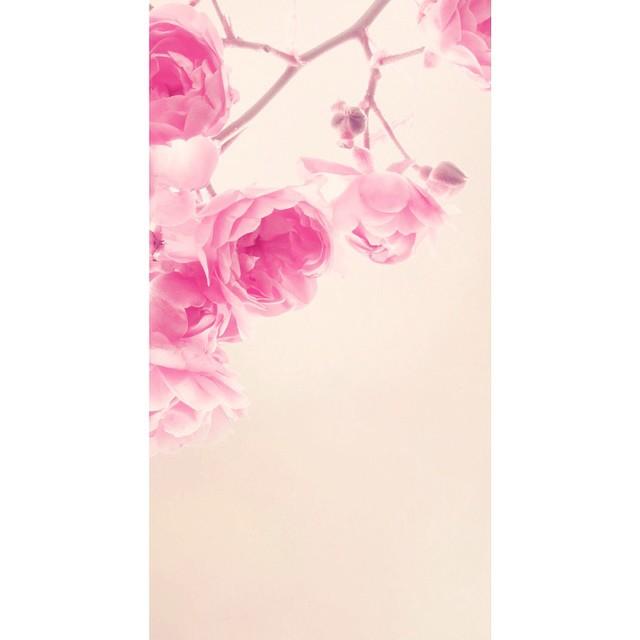 صور خلفيات وردي , اروع الخلفيات والصور الملونه
