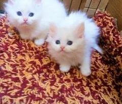 صور قطط رومي , اجمل اشكال القطط الرومى الرائعة