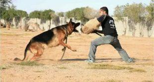 بالصور كيفية تدريب الكلاب , طرق مخصصة لتعليم الكلاب 3056 3 310x165