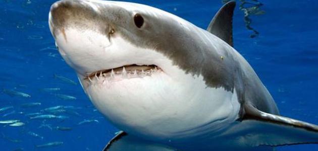 بالصور صور سمك القرش , صورة اكبر الاسماك فى العالم 3706 1