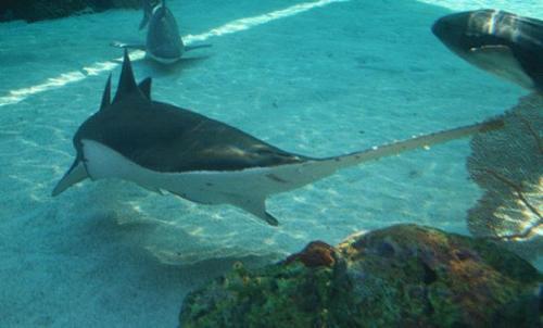 بالصور صور سمك القرش , صورة اكبر الاسماك فى العالم 3706 11
