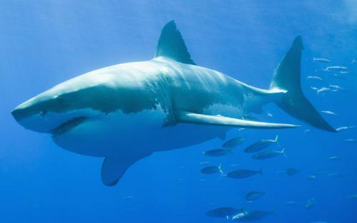 بالصور صور سمك القرش , صورة اكبر الاسماك فى العالم 3706 2