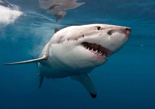 بالصور صور سمك القرش , صورة اكبر الاسماك فى العالم 3706 6