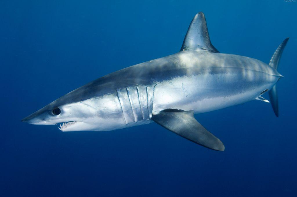 بالصور صور سمك القرش , صورة اكبر الاسماك فى العالم 3706 7