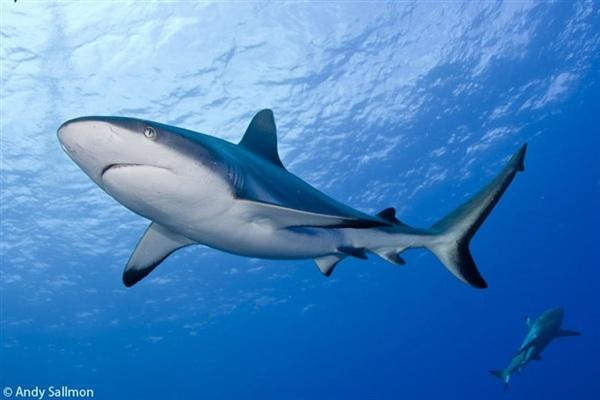 بالصور صور سمك القرش , صورة اكبر الاسماك فى العالم 3706 8