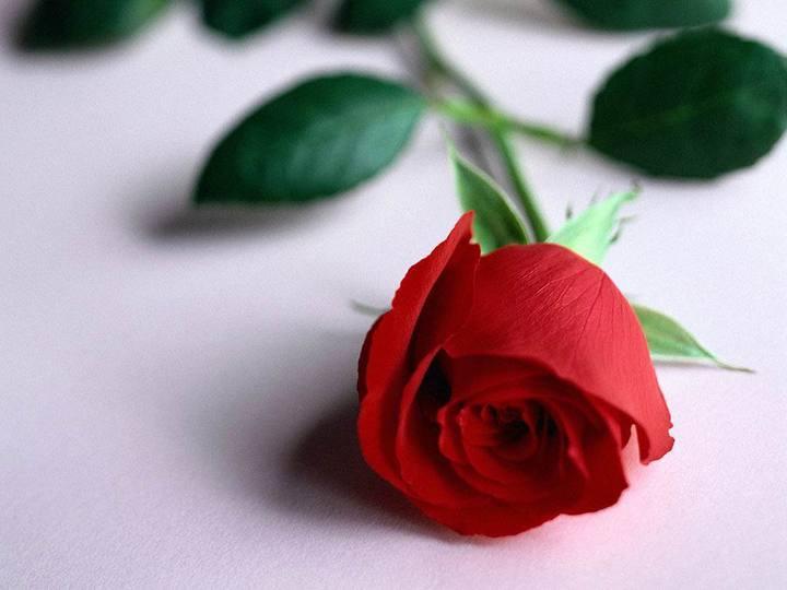بالصور صور زهور , اجمل خلفيات الورد 3736 11