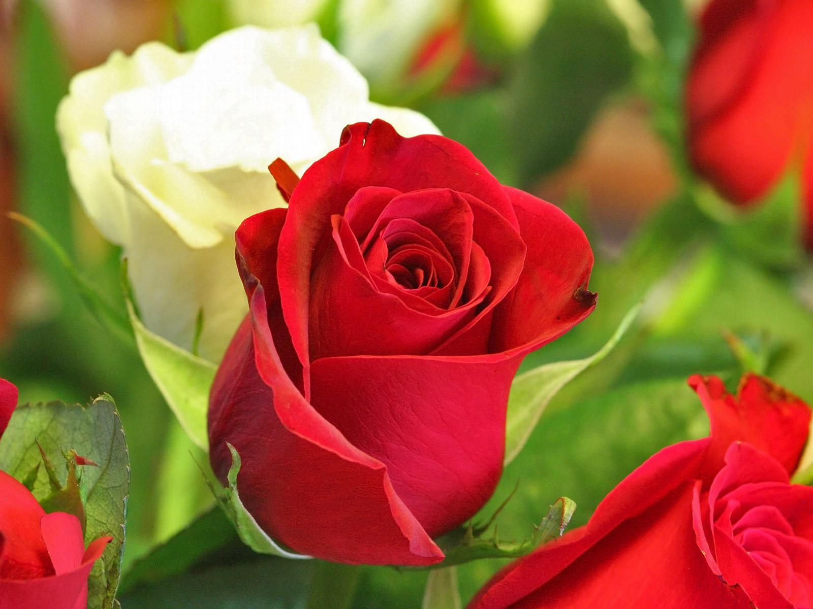 بالصور صور زهور , اجمل خلفيات الورد 3736 2