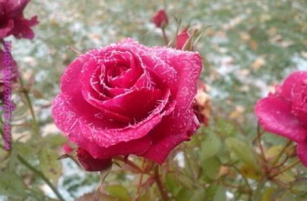 بالصور صور زهور , اجمل خلفيات الورد 3736 7