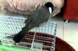 صورة بلابل عراقية , صورة اجمل طيور فى العراق