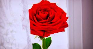 صوره صور ورد رومانسي , اجمل صور ورود تصلح خلفيات رومانسيه رائعه