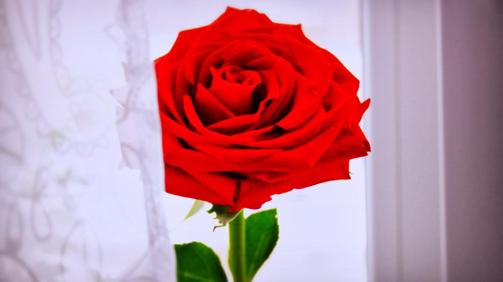 صور ورد رومانسي اجمل صور ورود تصلح خلفيات رومانسيه رائعه حبيبي