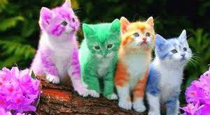 صور قطط شيرازى , تعرف على انواع القطط الشيرازى والوانها المبهره