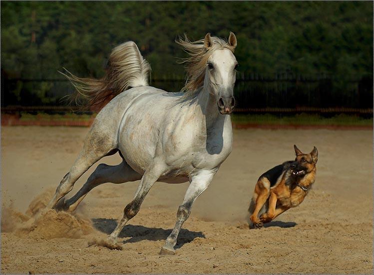 بالصور خيل اصيل , اجمل الخيول الاصيلة 1448 1