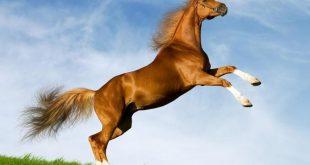 صورة خيل اصيل , اجمل الخيول الاصيلة