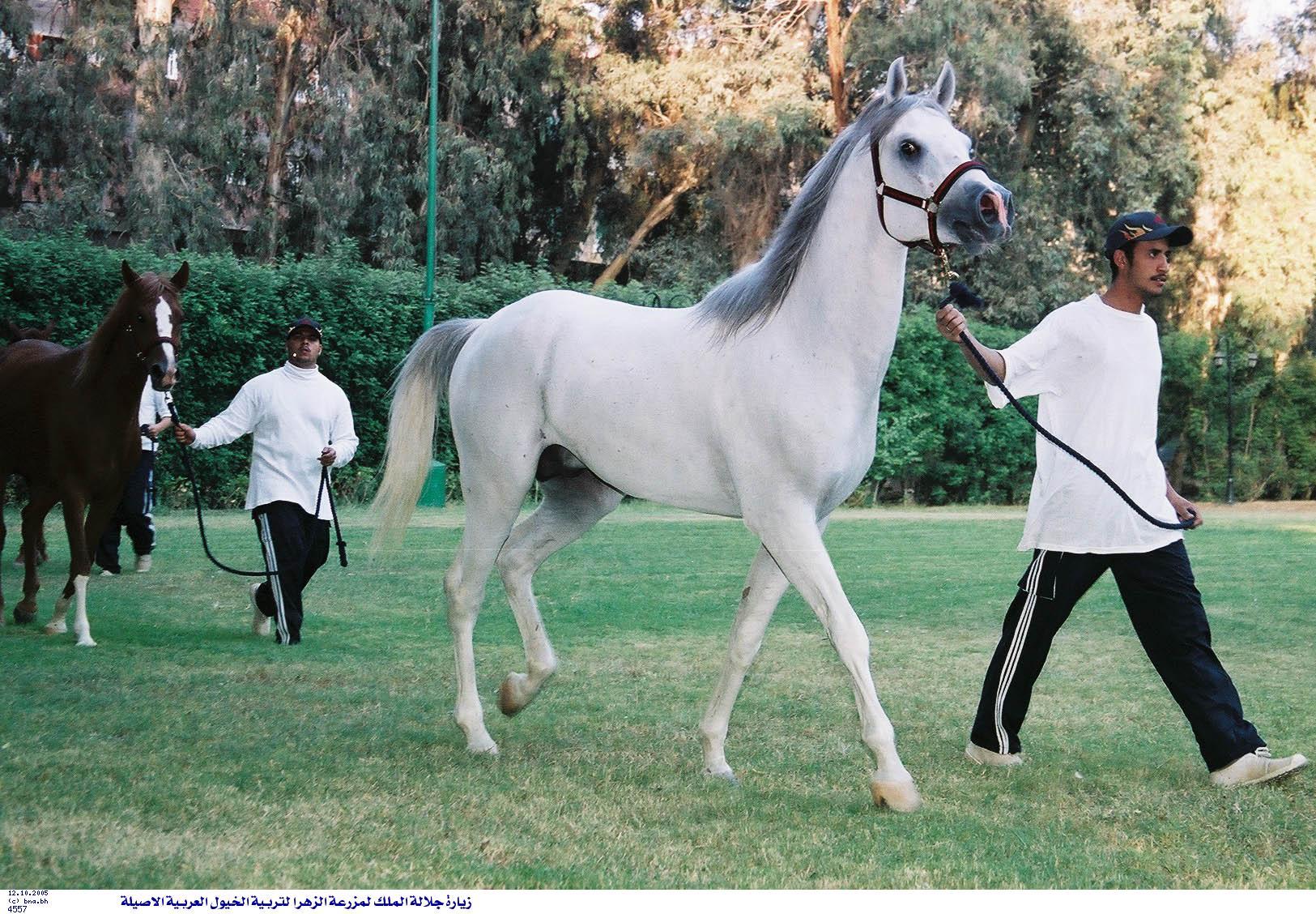 بالصور خيل اصيل , اجمل الخيول الاصيلة 1448 2