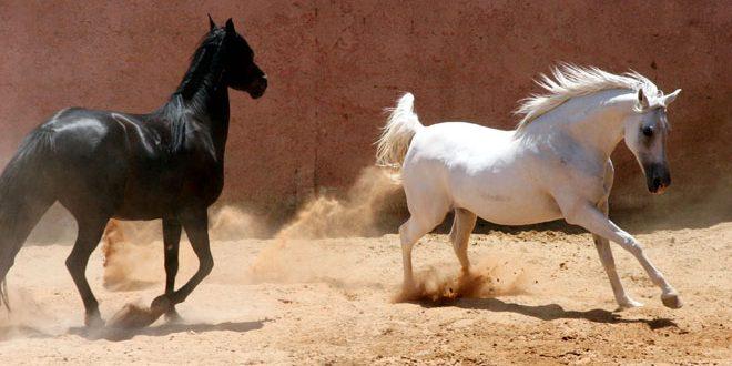 بالصور خيل اصيل , اجمل الخيول الاصيلة 1448 3