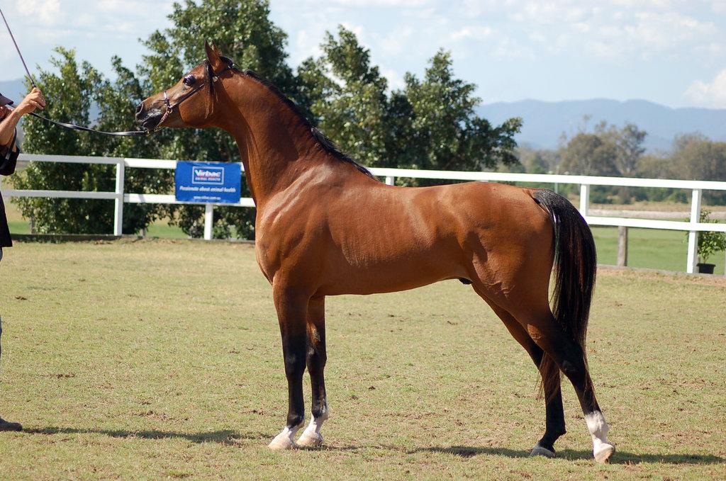 بالصور خيل اصيل , اجمل الخيول الاصيلة 1448 4