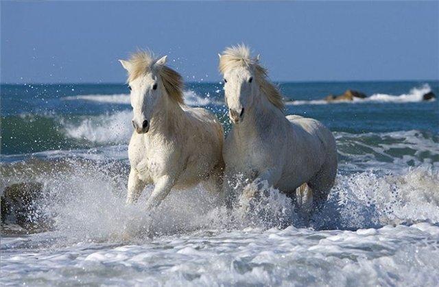 بالصور خيل اصيل , اجمل الخيول الاصيلة 1448 6