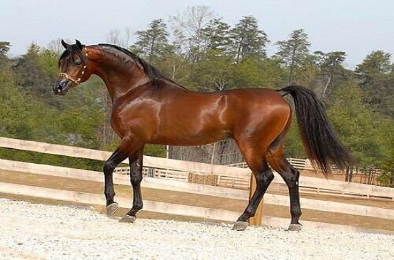 بالصور خيل اصيل , اجمل الخيول الاصيلة 1448 7