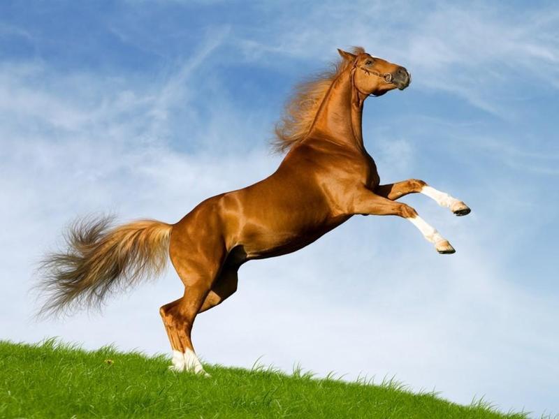 صوره خيل اصيل , اجمل الخيول الاصيلة