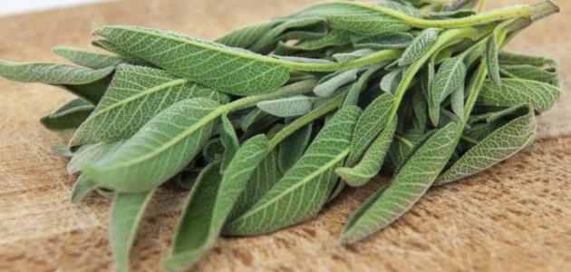 صورة عشبة الميرمية , فوائد الميرمية واضرارها