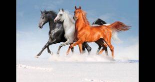 صورة صور خيول , اجمل الخيول العربية