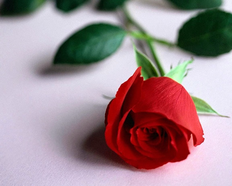 اجمل وردة في العالم احلى وردة في الكون حبيبي